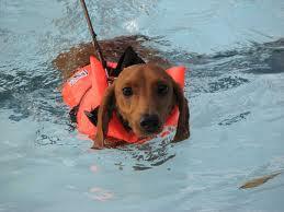 dog swimming safety